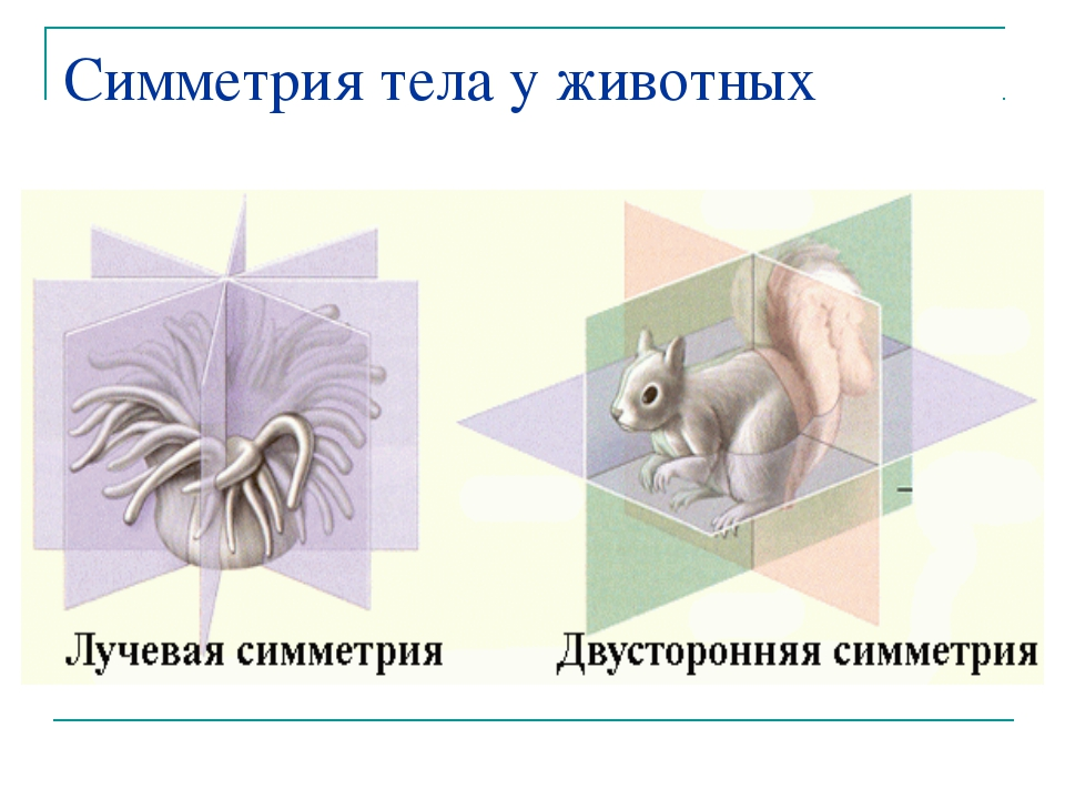 Симметрия тела у животных