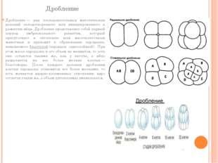 Дробление Дробление— ряд последовательных митотических делений оплодотворенн