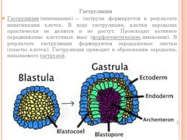 Гаструляция Гаструляция(впячивание)— гаструла формируется в результате инва...