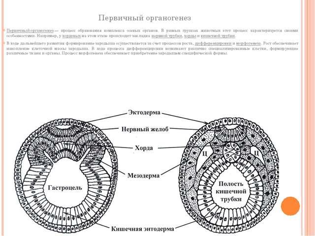Первичный органогенез Первичный органогенез— процесс образования комплекса о...