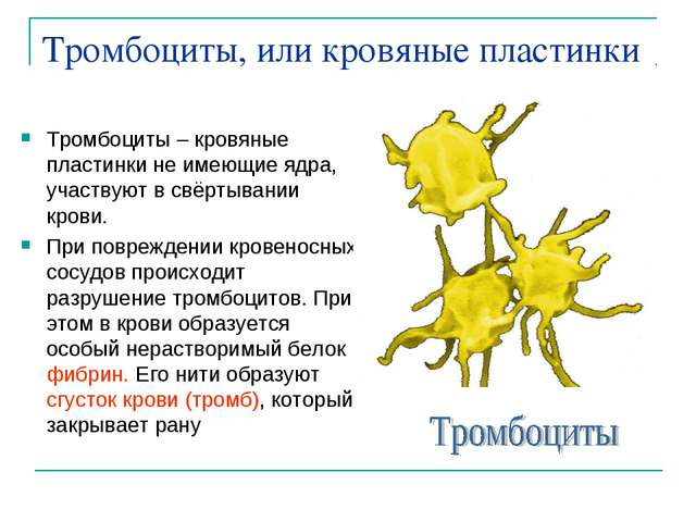 Тромбоциты, или кровяные пластинки Тромбоциты – кровяные пластинки не имеющие...