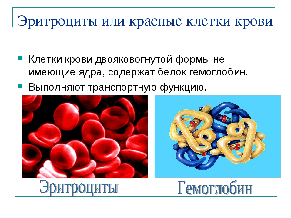 Эритроциты или красные клетки крови Клетки крови двояковогнутой формы не имею...