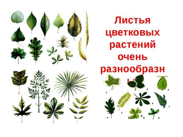 Листья цветковых растений очень разнообразны.