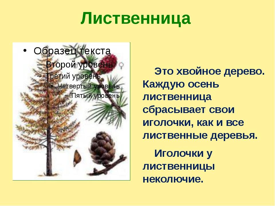 Лиственница Это хвойное дерево. Каждую осень лиственница сбрасывает свои игол...