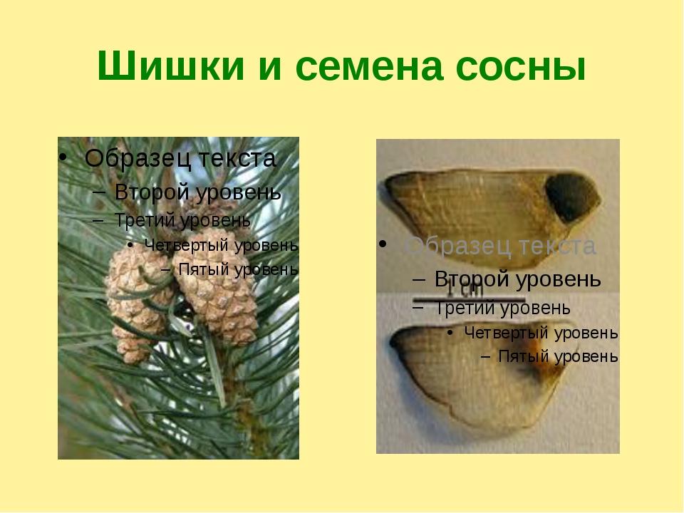 Шишки и семена сосны