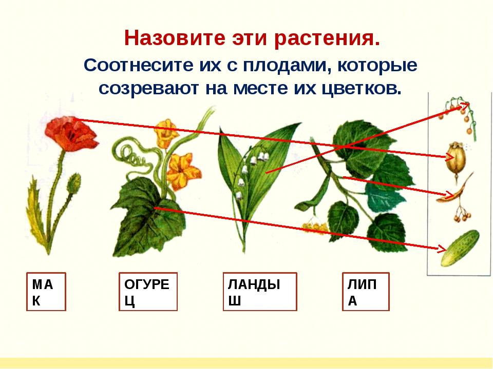 МАК ОГУРЕЦ ЛАНДЫШ ЛИПА Назовите эти растения. Соотнесите их с плодами, которы...