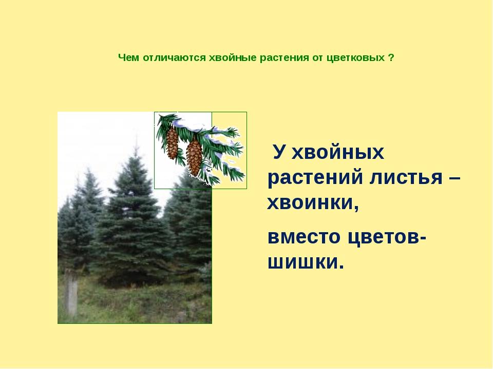 Чем отличаются хвойные растения от цветковых ? У хвойных растений листья – хв...