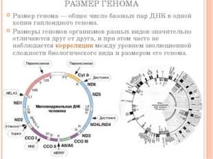 РАЗМЕР ГЕНОМА Размер генома— общее число базовых пар ДНК в одной копии гапло