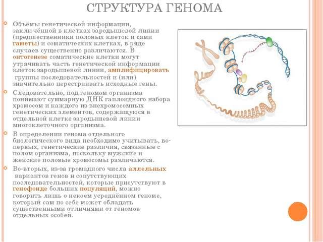 СТРУКТУРА ГЕНОМА Объёмы генетической информации, заключённой в клетках зароды...