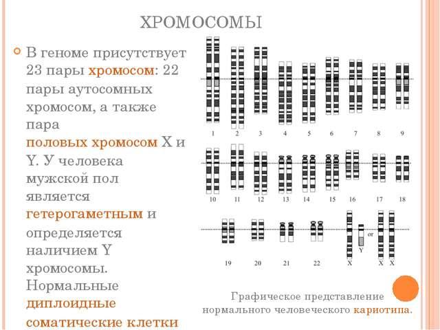 ХРОМОСОМЫ В геноме присутствует 23 парыхромосом: 22 пары аутосомных хромосом...