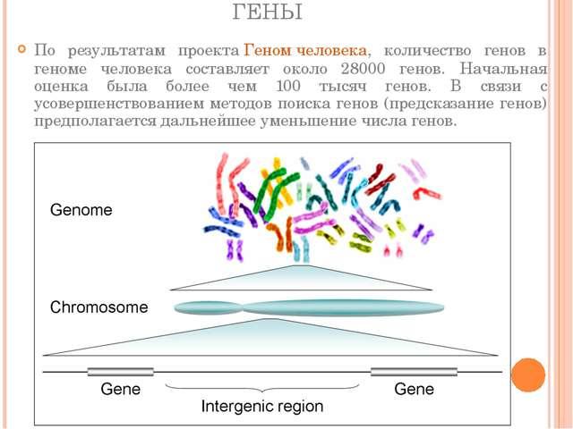 ГЕНЫ По результатам проектаГеном человека, количество генов в геноме человек...