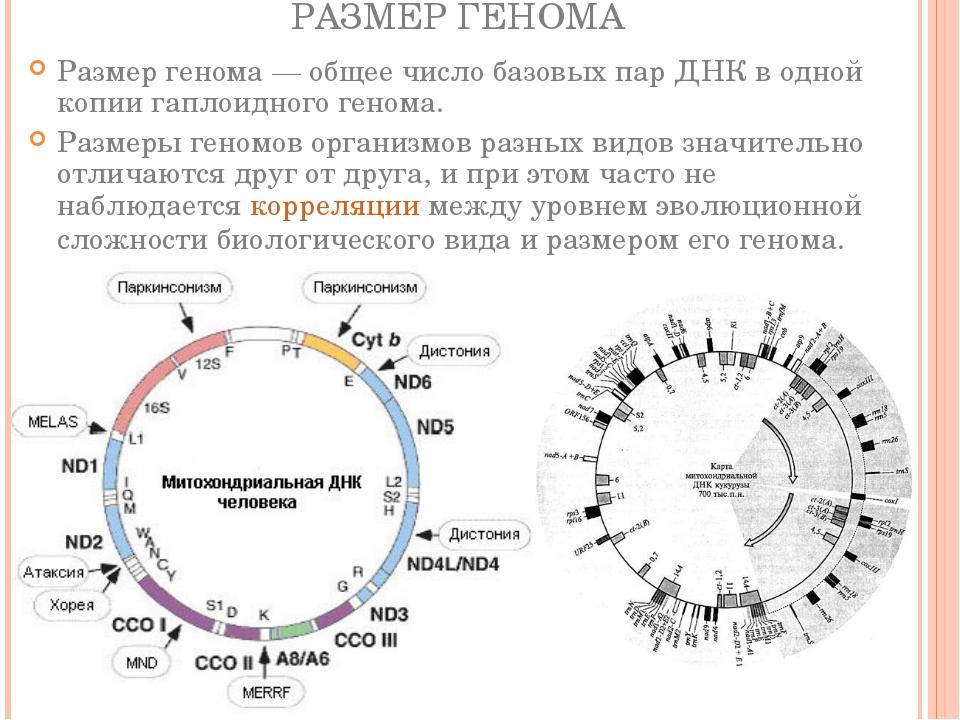 РАЗМЕР ГЕНОМА Размер генома— общее число базовых пар ДНК в одной копии гапло...