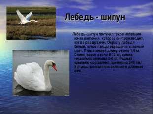 Лебедь - шипун Лебедь-шипун получил такое название из-за шипения, которое он