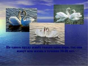 На одном пруду живёт только одна пара, так они живут всю жизнь в течении 30-4