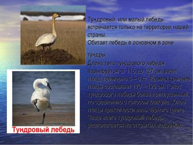 Тундровый, или малый лебедь встречается только на территории нашей страны. Об...