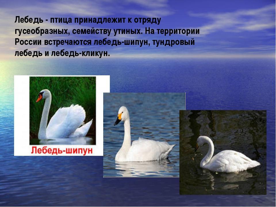 Лебедь - птица принадлежит к отряду гусеобразных, семейству утиных. На террит...