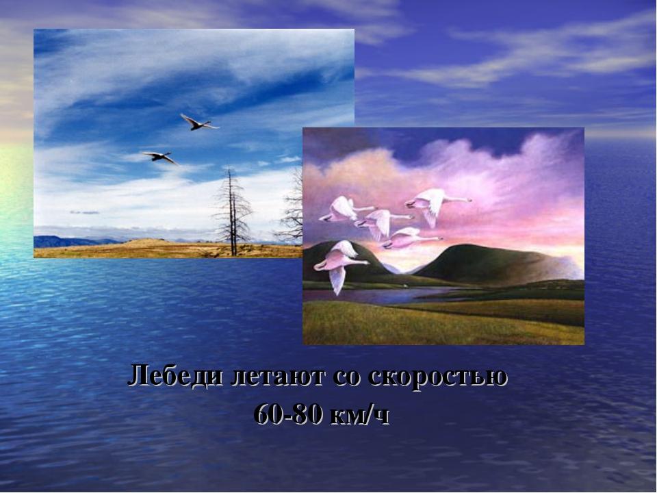 Лебеди летают со скоростью 60-80 км/ч