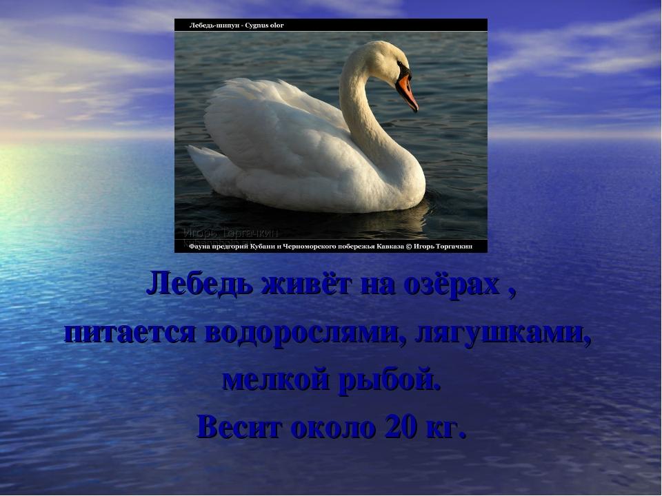 Лебедь живёт на озёрах , питается водорослями, лягушками, мелкой рыбой. Весит...