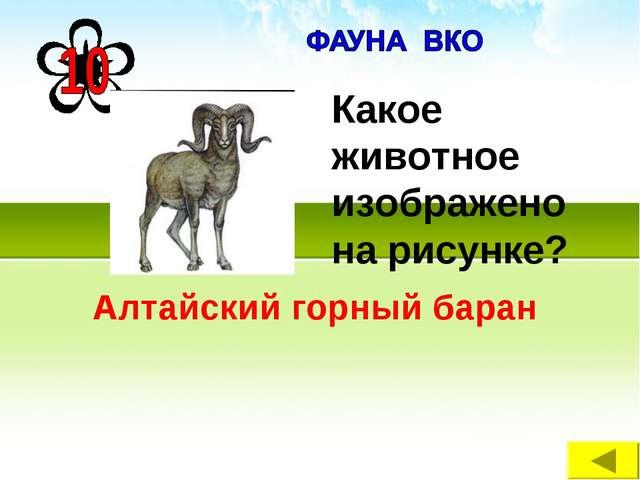 Алтайский горный баран Какое животное изображено на рисунке?