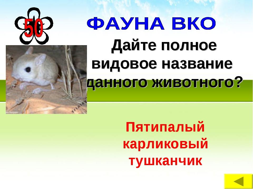 Дайте полное видовое название данного животного? Пятипалый карликовый тушканчик