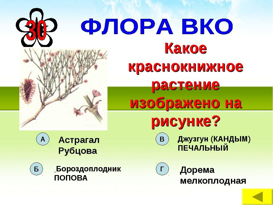 Какое краснокнижное растение изображено на рисунке?