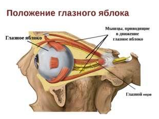 Глазное яблоко Положение глазного яблока Мышцы, приводящие в движение глазное