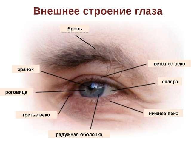 Внешнее строение глаза бровь верхнее веко склера нижнее веко радужная оболочк...