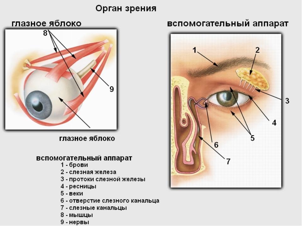 Кожа как орган зрения