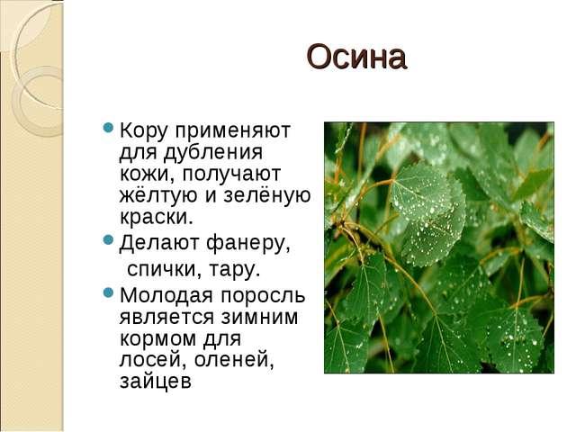 Осина Кору применяют для дубления кожи, получают жёлтую и зелёную краски. Де...