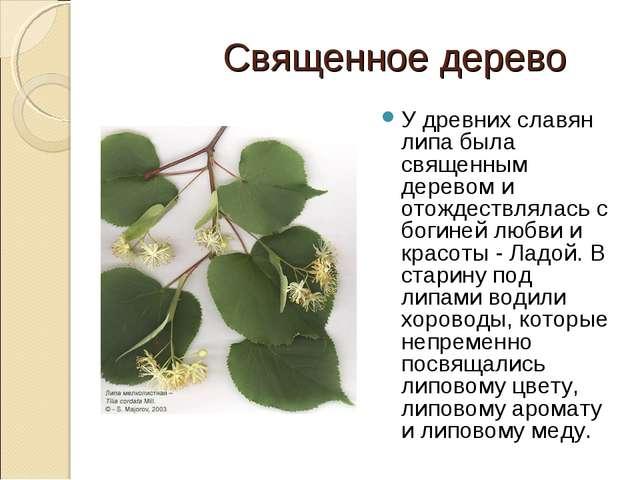 Священное дерево У древних славян липа была священным деревом и отождествлял...