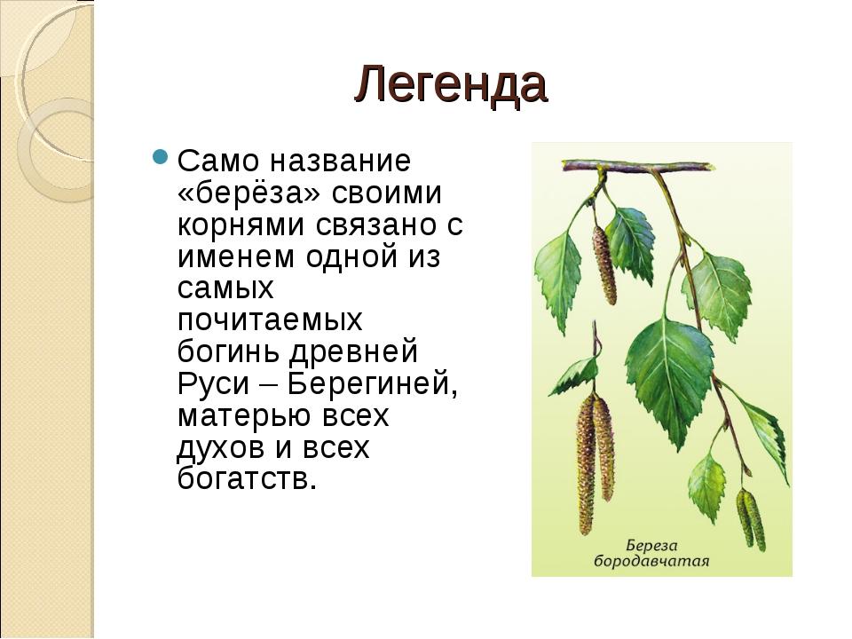 Легенда Само название «берёза» своими корнями связано с именем одной из самы...