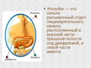 Желудок — это сильно расширенный отдел пищеварительного канала, расположенный
