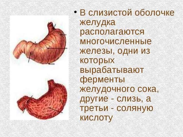 В слизистой оболочке желудка располагаются многочисленные железы, одни из кот...