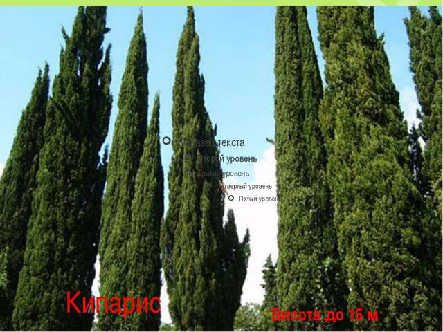 Кипарис Висота до 15 м