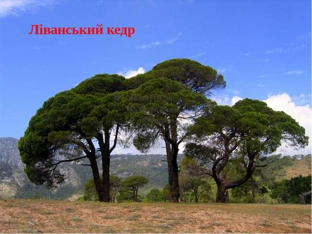 Ліванський кедр