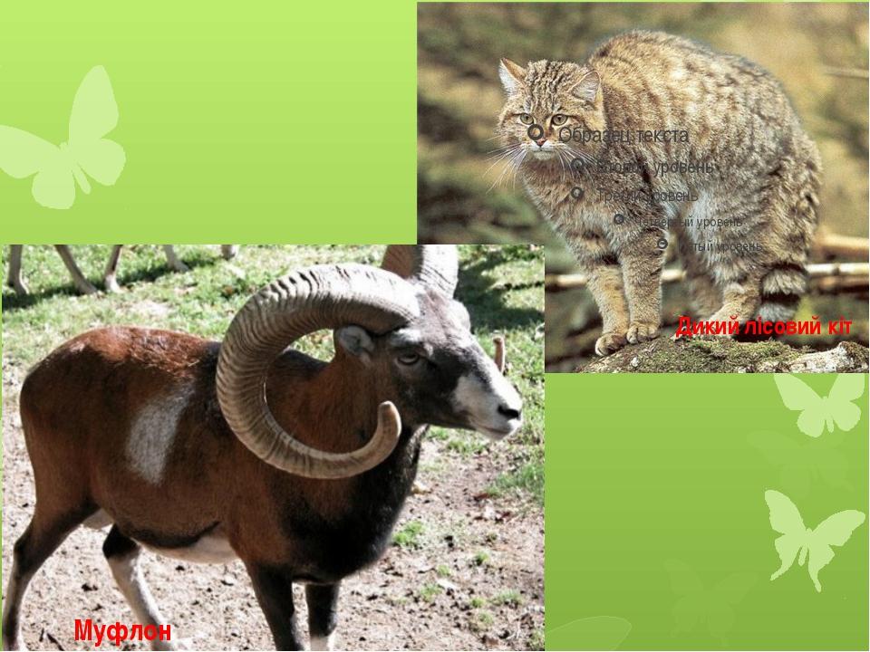 Муфлон Дикий лісовий кіт