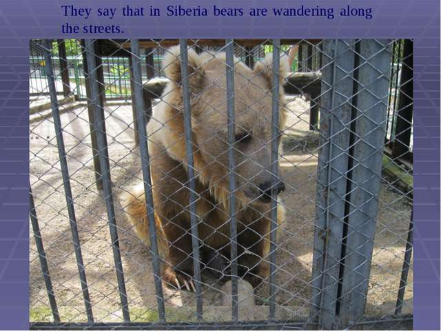 They say that in Siberia bears are wandering along the streets.