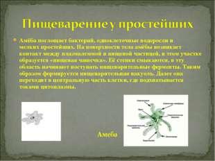 Амёба поглощаетбактерий, одноклеточныеводорослии мелкихпростейших. На пов