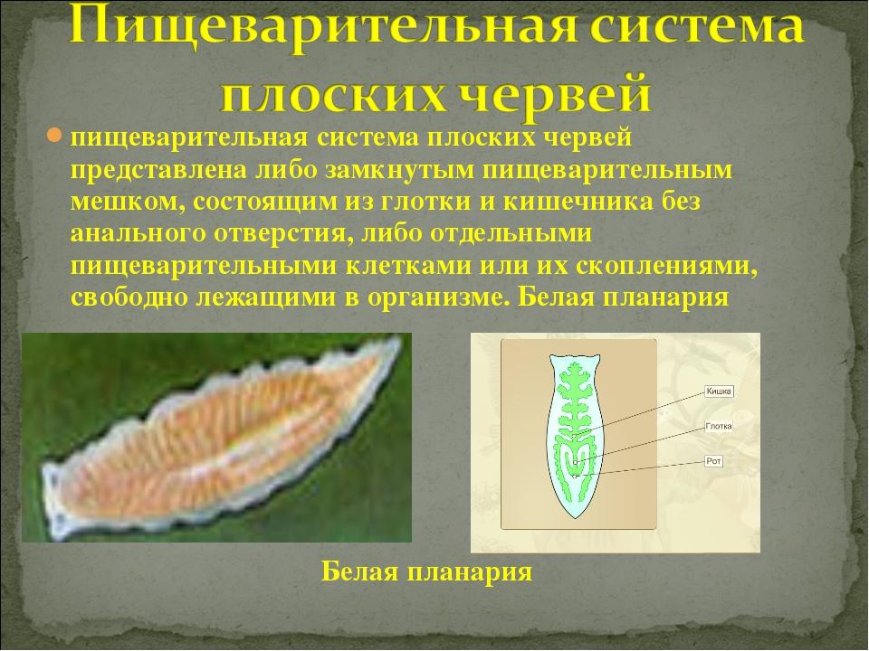 пищеварительная система плоских червей представлена либо замкнутым пищеварите...