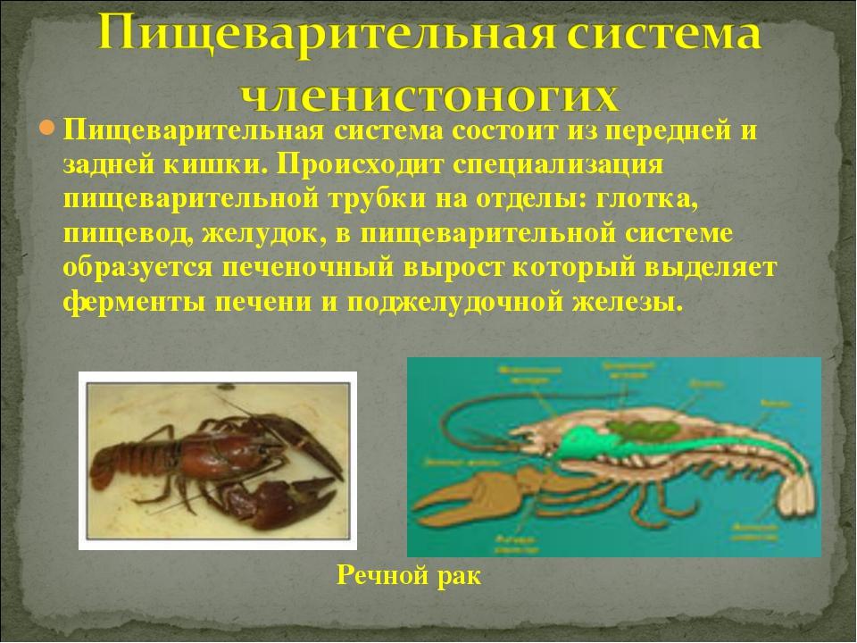 Пищеварительная система состоит из передней и задней кишки. Происходит специа...