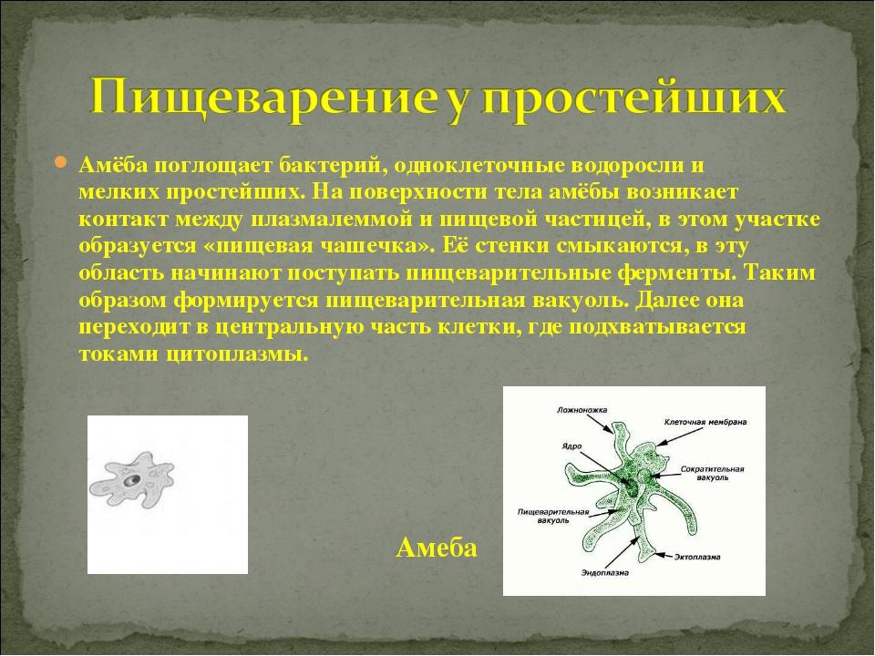 Амёба поглощаетбактерий, одноклеточныеводорослии мелкихпростейших. На пов...