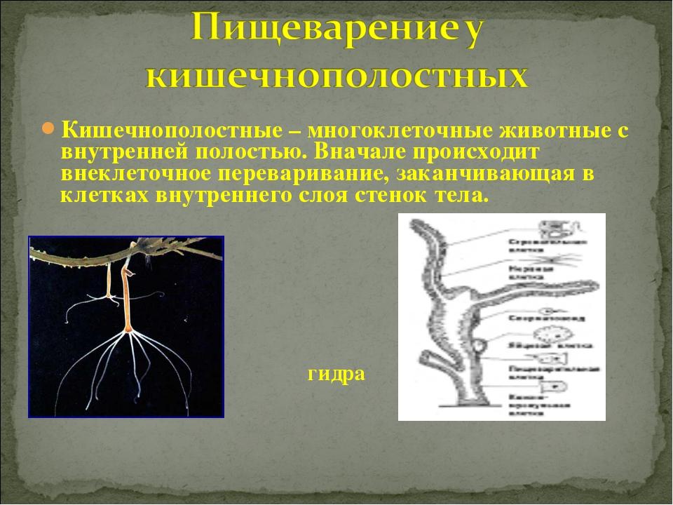 Кишечнополостные – многоклеточные животные с внутренней полостью. Вначале про...