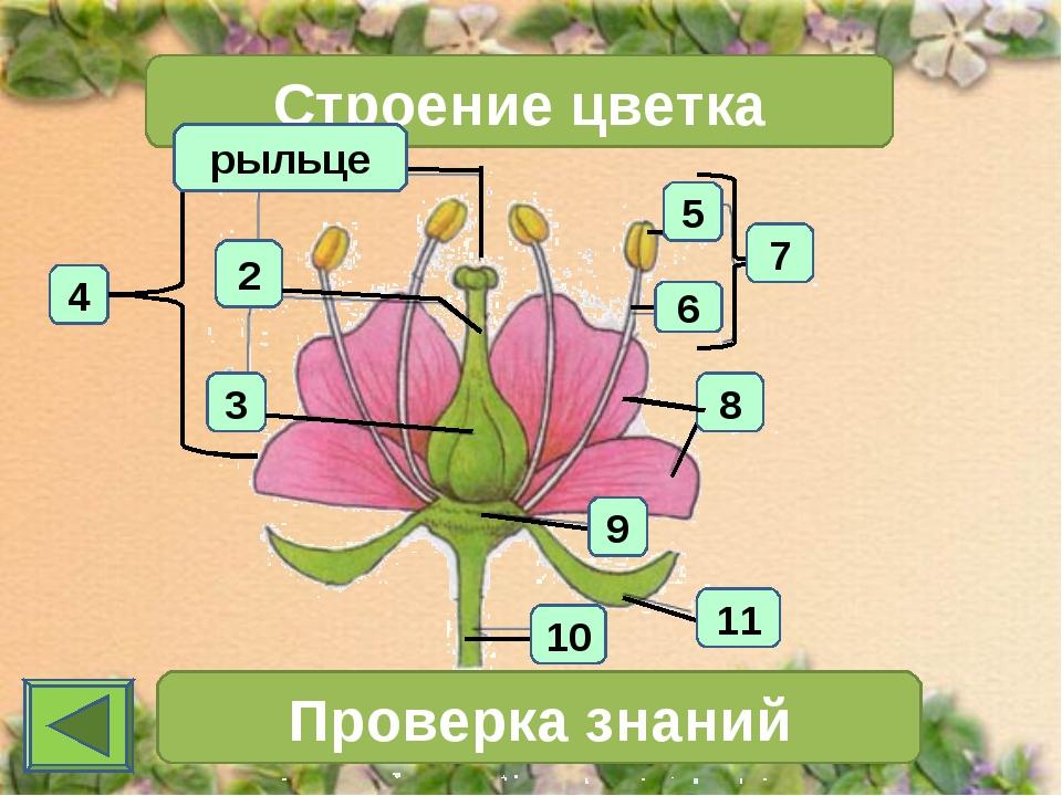 4 2 3 Строение цветка 7 Проверка знаний 11 10 6 5 8 9 рыльце