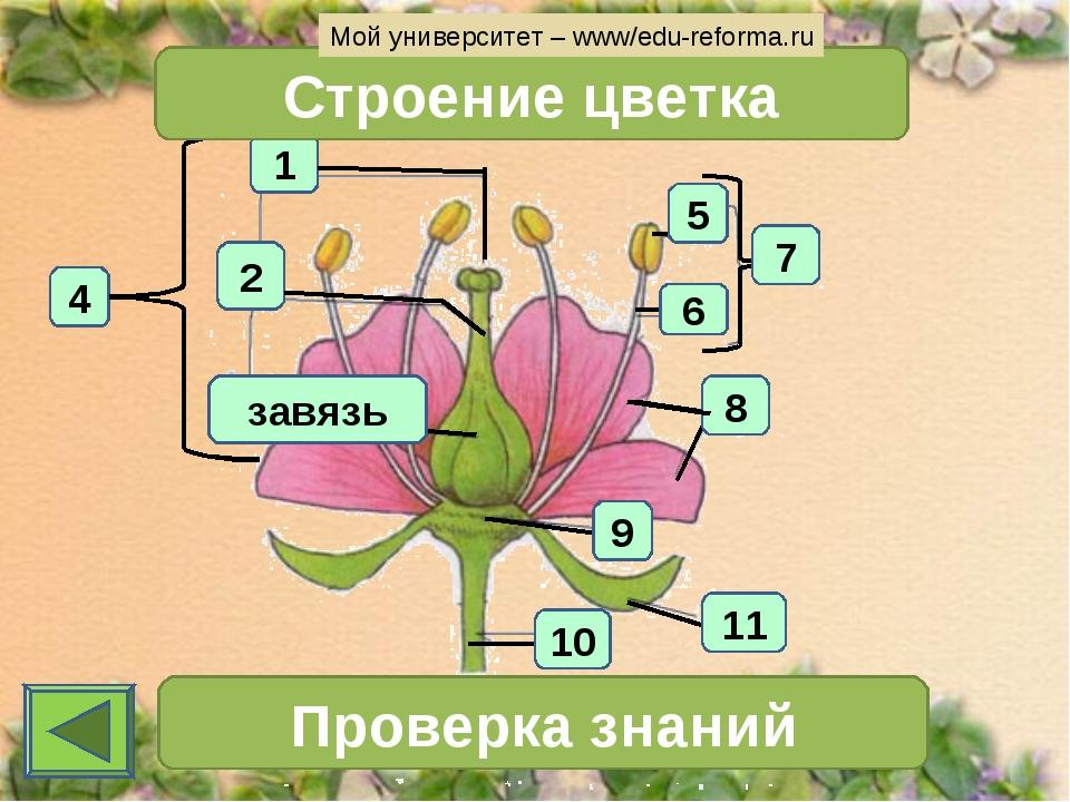 1 4 2 Строение цветка 7 Проверка знаний 11 10 6 5 8 9 завязь Мой университет...