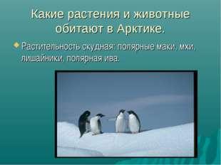Какие растения и животные обитают в Арктике. Растительность скудная: полярные
