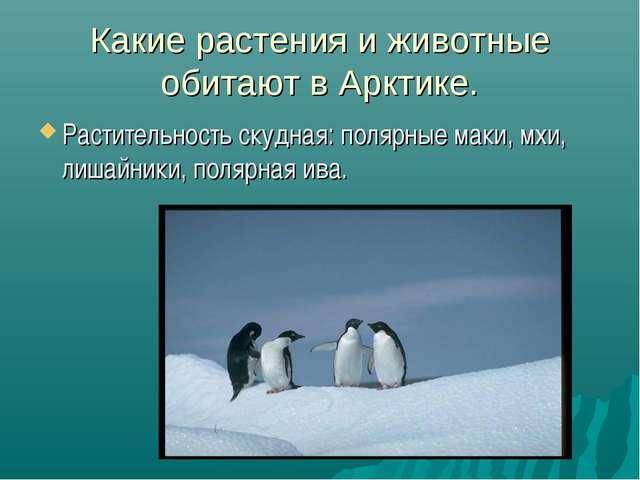Какие растения и животные обитают в Арктике. Растительность скудная: полярные...