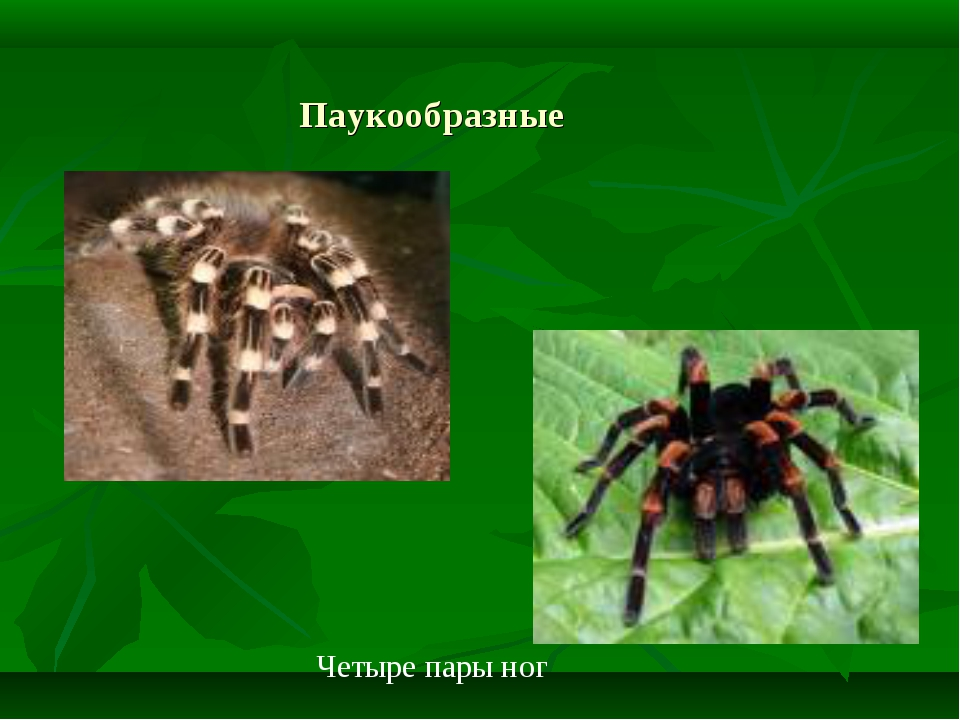 Паукообразные Четыре пары ног