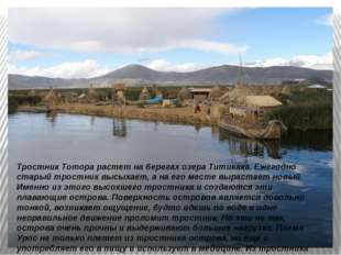 Тростник Тотора растет на берегах озера Титикака. Ежегодно старый тростник вы
