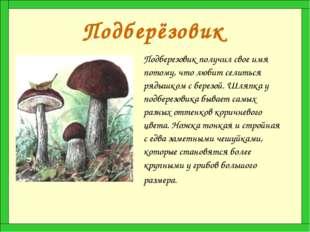 Подберёзовик Подберезовик получил свое имя потому, что любит селиться рядышко