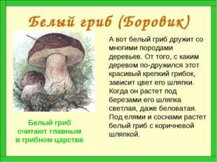 Белый гриб (Боровик) А вот белый гриб дружит со многими породами деревьев. От